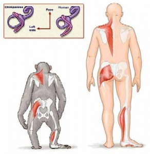 HumanChimpBiomechanics